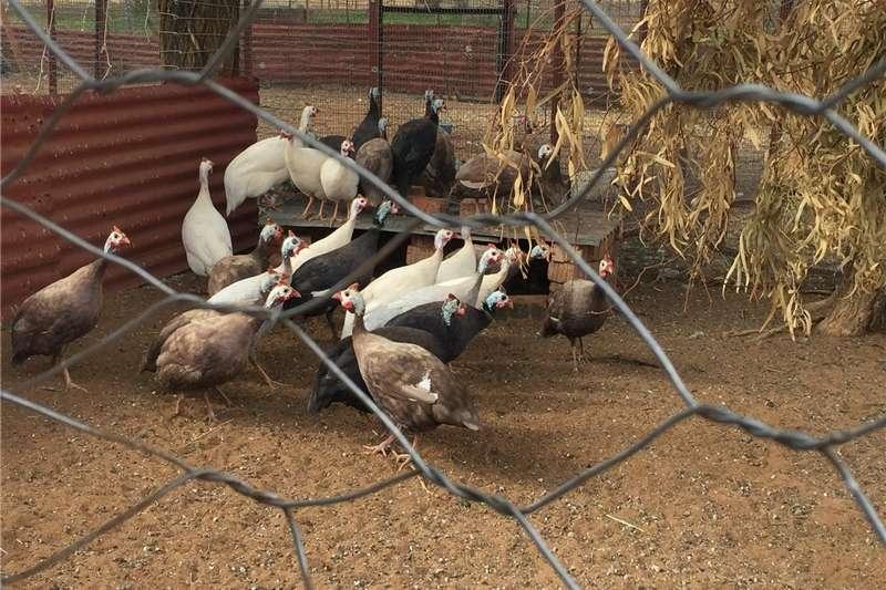 Livestock Other livestock Guinea Fowl
