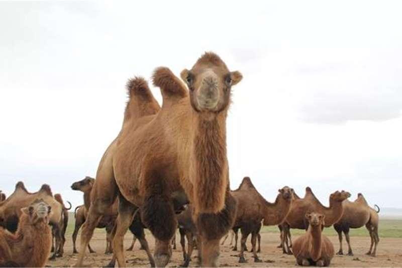 Other livestock RESSISTANT DROMEDARY/BACTRIAN CAMEL WHATSAPP +2763 Livestock