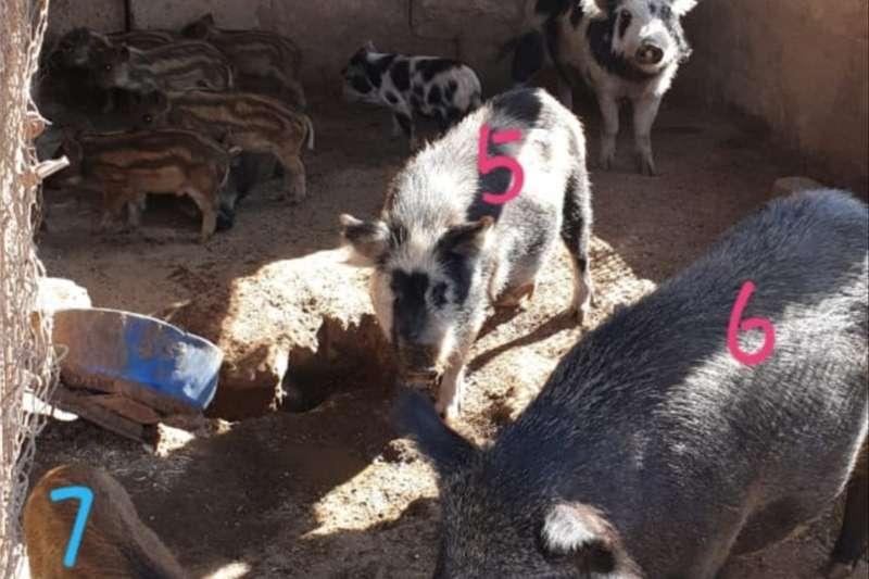 Livestock Pigs Bosvarke te koop