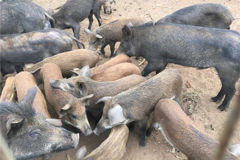 Livestock Pigs European boar for sale all at R25000 45 plus pigs