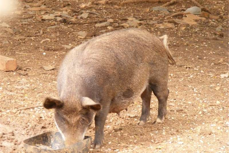 Pigs European boar for sale all at R25000 45 plus pigs Livestock