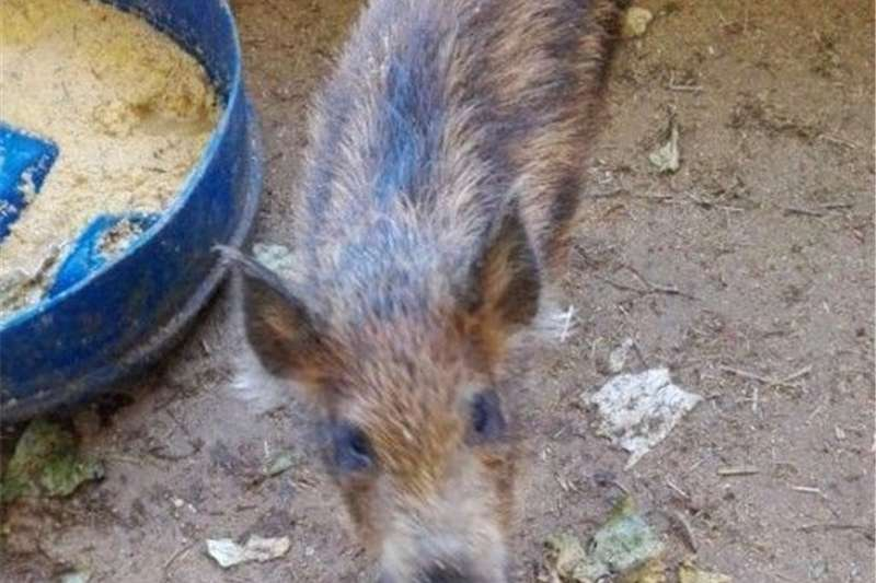Pigs European bush pig Livestock
