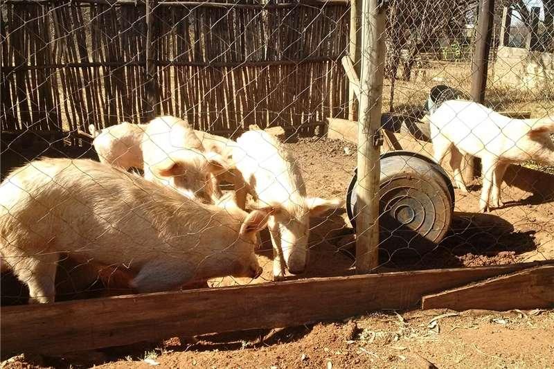 Pigs great white pigs Livestock