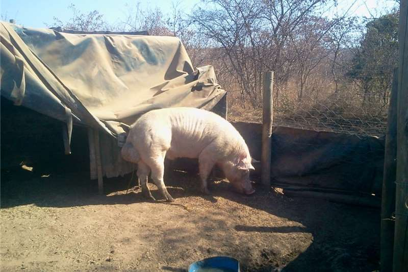Pigs Landras varkie Livestock