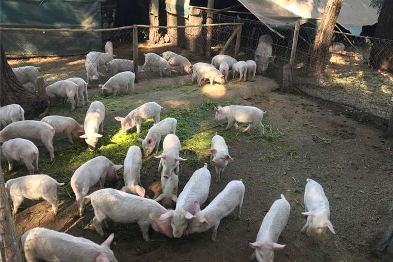 Livestock Pigs Large white x Landras piglets for sale