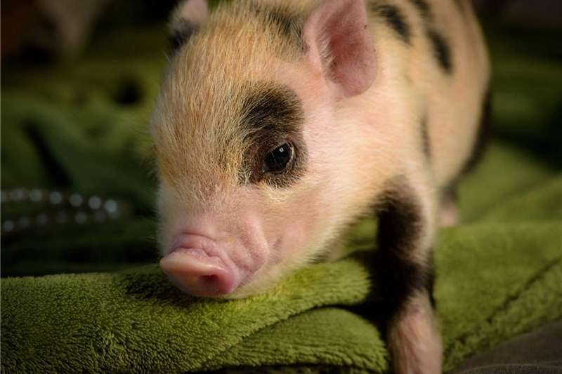 Livestock Pigs Miniature Pet Pig