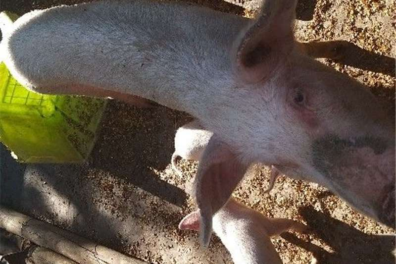 Livestock Pigs piglets 3 month old