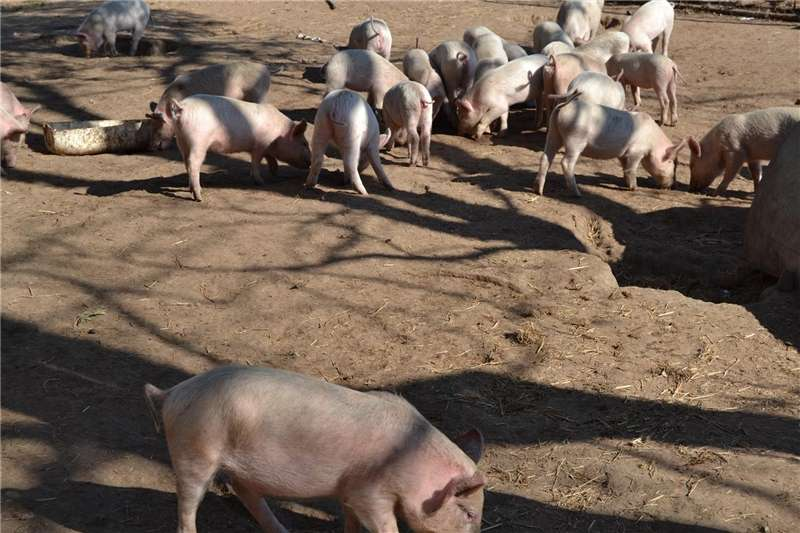 Livestock Pigs PIGLETS for sale/ SPEENVARKIES te koop
