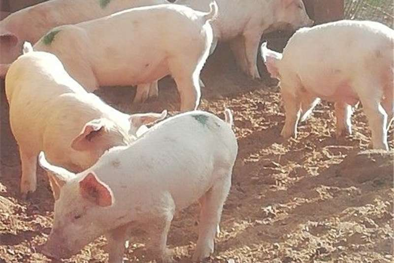 Pigs Piglets Livestock