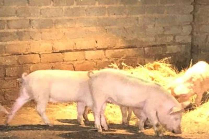 Pigs Pigs for sale Livestock