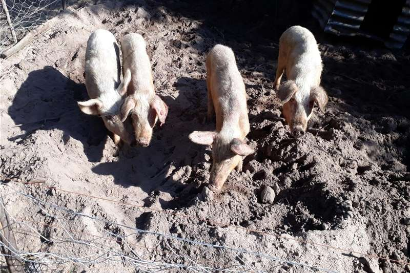 Livestock Pigs Pigs (Free Range) for sale