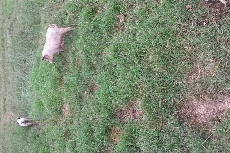 Livestock Pigs Pigs   Growers