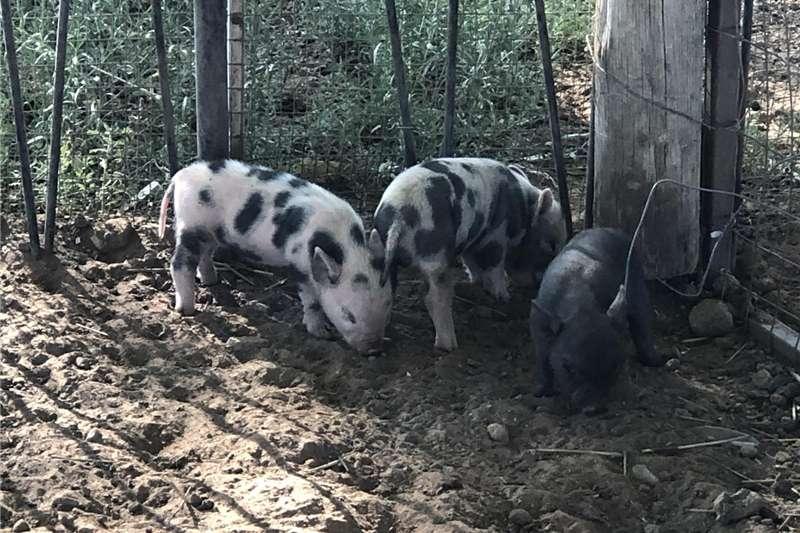 Livestock Pigs Potbelly piglets