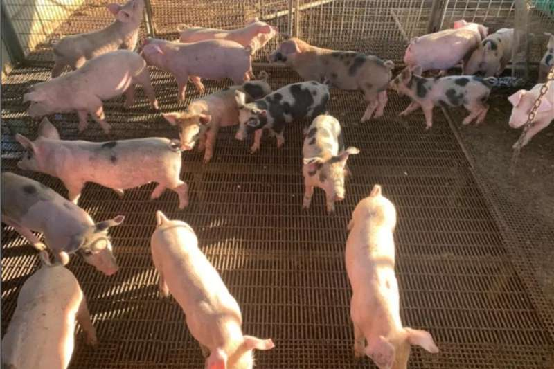 Livestock Pigs Weaner Pigs for Sale