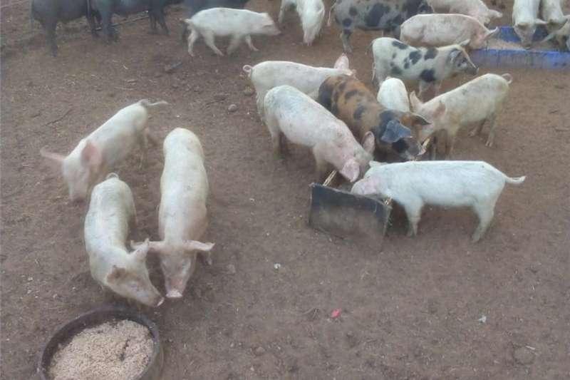 Livestock Pigs Weaners