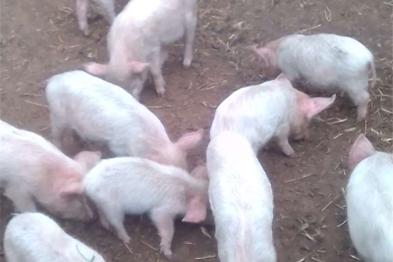 Livestock Pigs Weaners large white landrace cross  2months old
