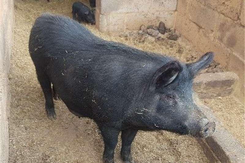 Pigs Wild boar and Doka Piglet Livestock