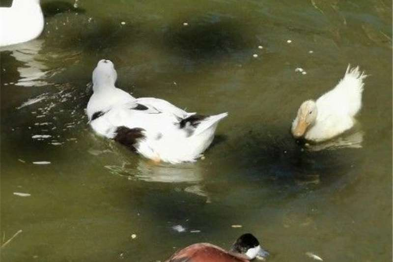 Poultry Ancona duck Livestock