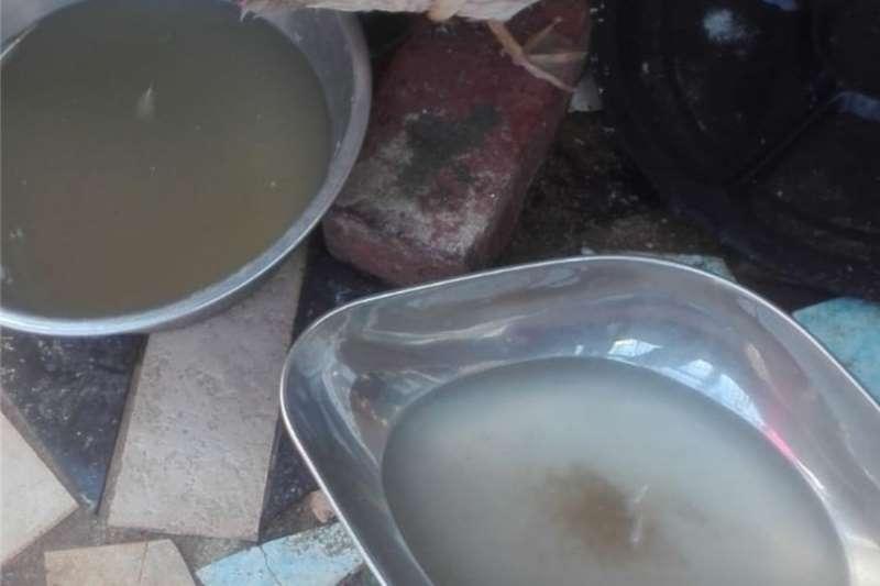 Poultry Cinnamon Mandarin Ducks for Sale Livestock