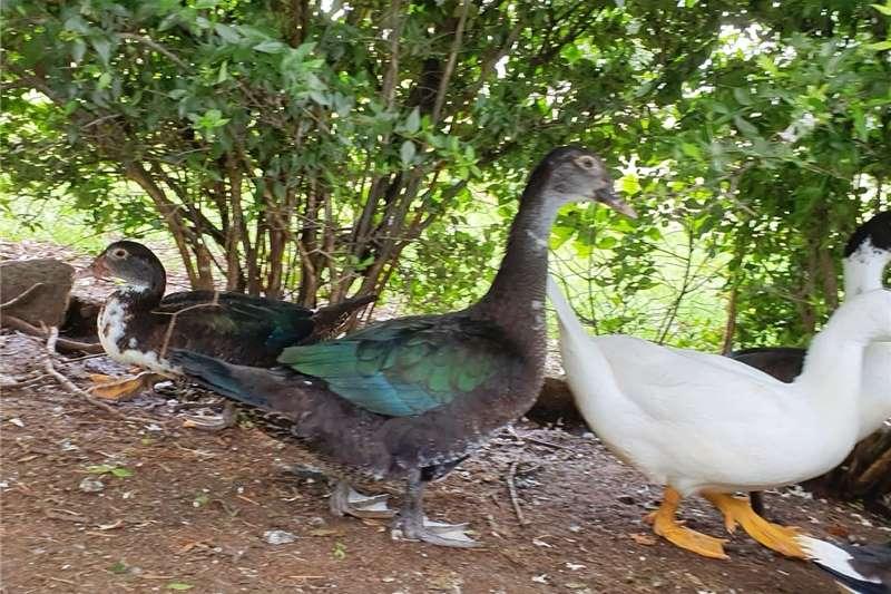 Poultry Ducks for sale Livestock