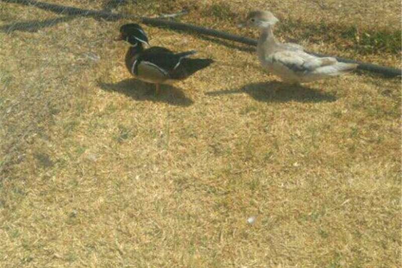 Livestock Poultry ducks