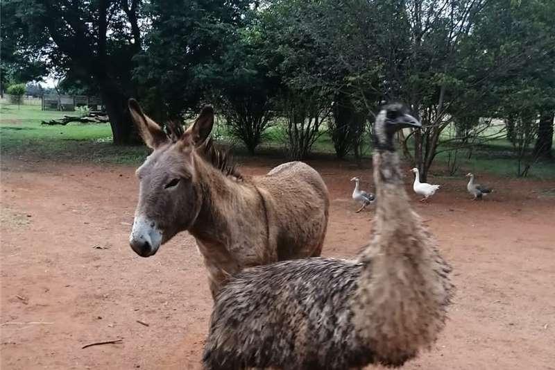 Poultry Emu for sale Livestock