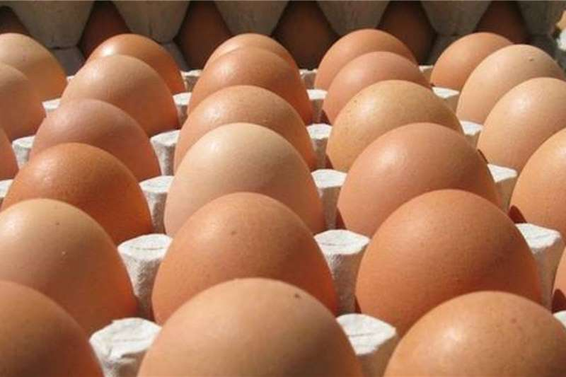 Livestock Poultry Fresh Table Eggs   Call/Whatsapp 0832458210