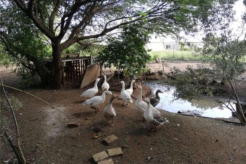Livestock Poultry Ganse te koop