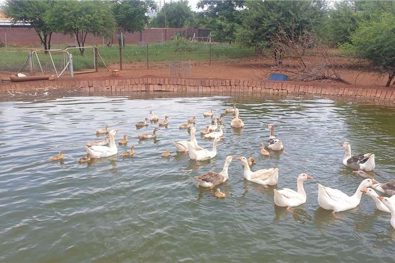 Poultry Geese for sale Livestock