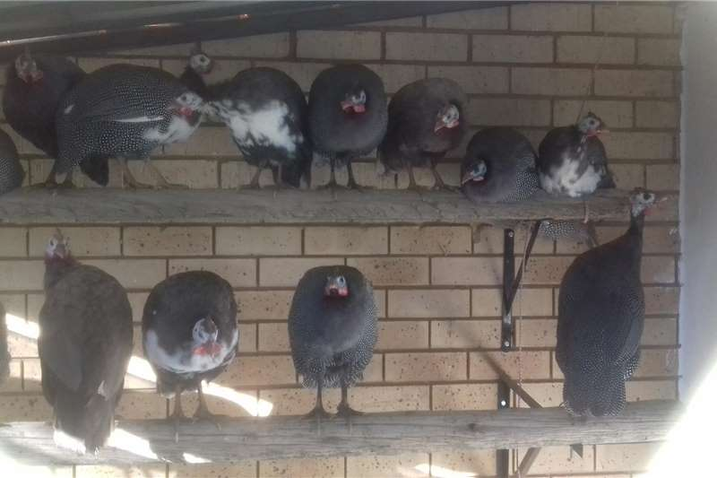 Livestock Poultry Guinea fowls for sale