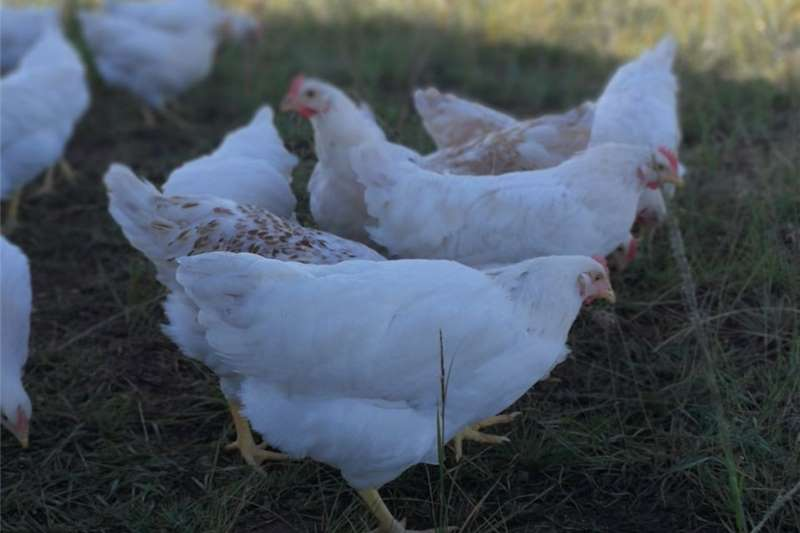 Poultry Hy line free range layer hens Livestock
