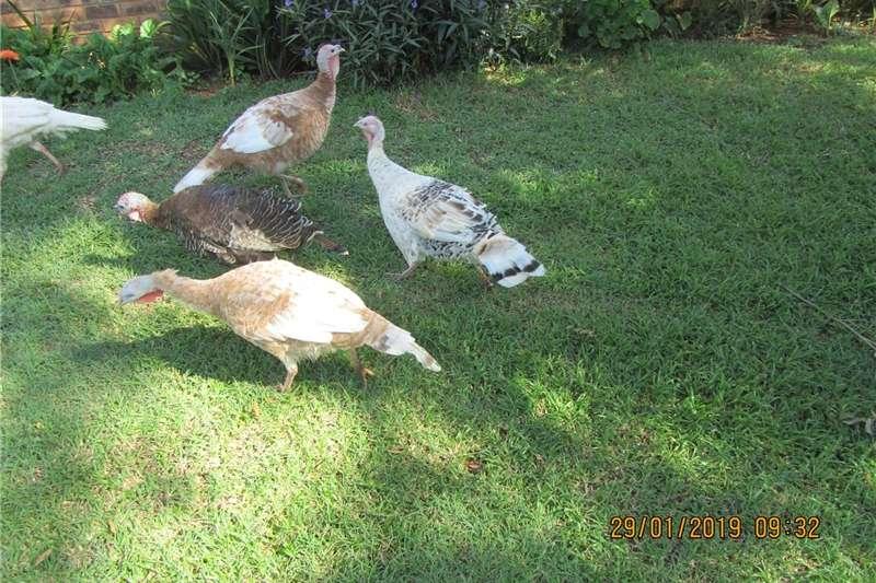Livestock Poultry KALKOENE TE KOOP