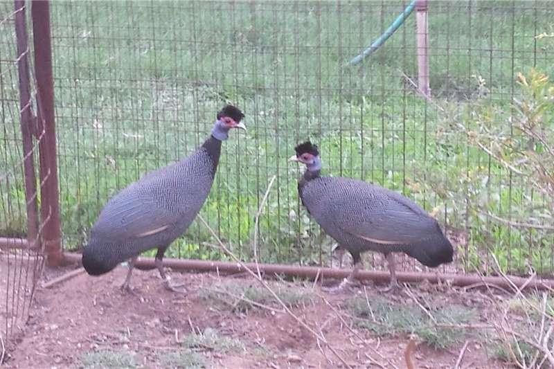 Livestock Poultry Kuifkop/Crested tarentale te koop