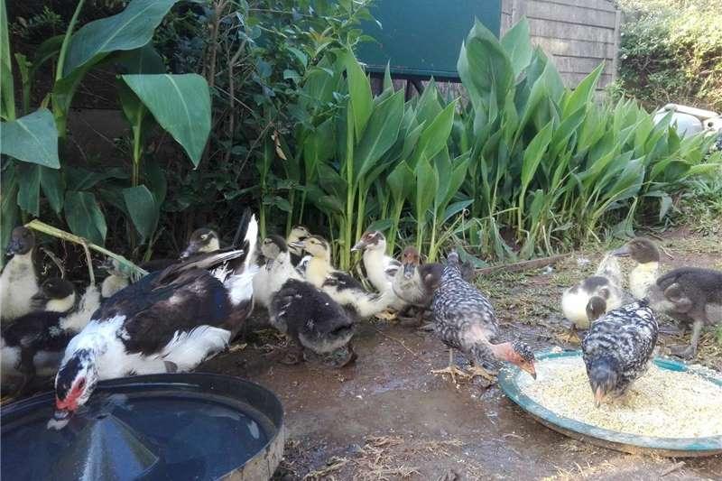 Poultry Makoue/Muscovy ducks for sale Livestock
