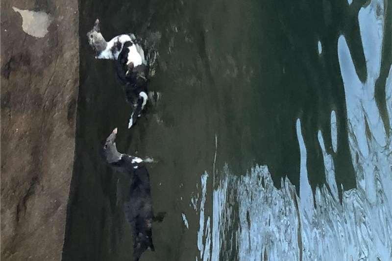 Livestock Poultry Mascovy ducks