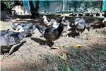 Poultry Muscovey ducks for sale Livestock
