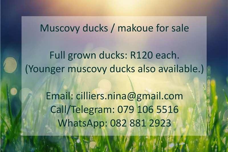 Poultry Muscovy Ducks / Makoue Livestock