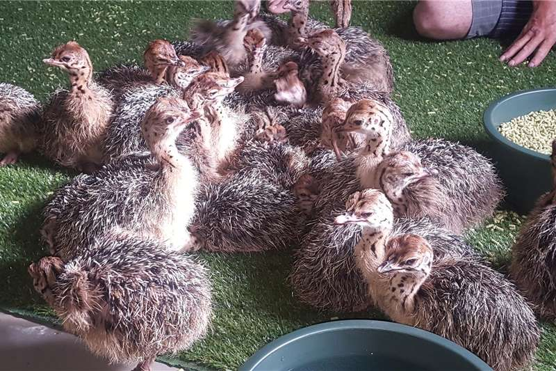 Poultry Ostrich chicks 4 weeks old Livestock