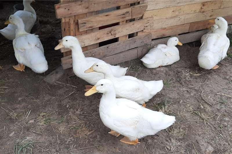 Poultry Pekin Ducks Livestock