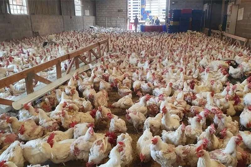 Livestock Poultry Point of Lay Chickens For Sale