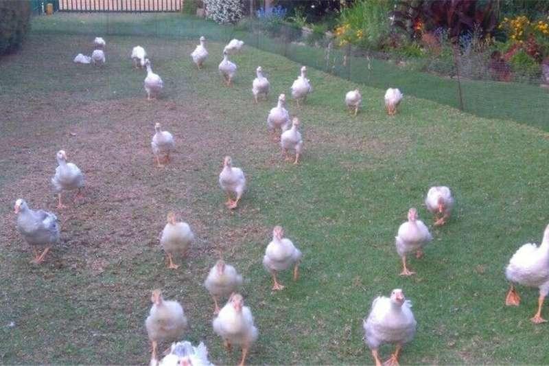 Poultry Sebastopols Livestock