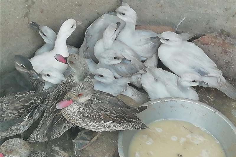 Poultry Silver Carolina Ducks for Sale Livestock