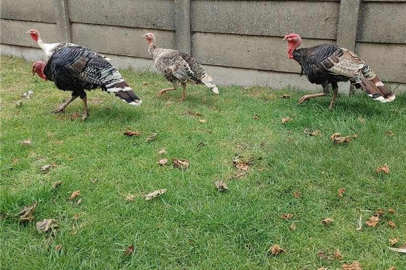Poultry Turkey pair / Kalkoen paar Livestock