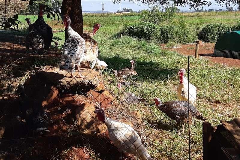 Livestock Poultry Turkeys Available