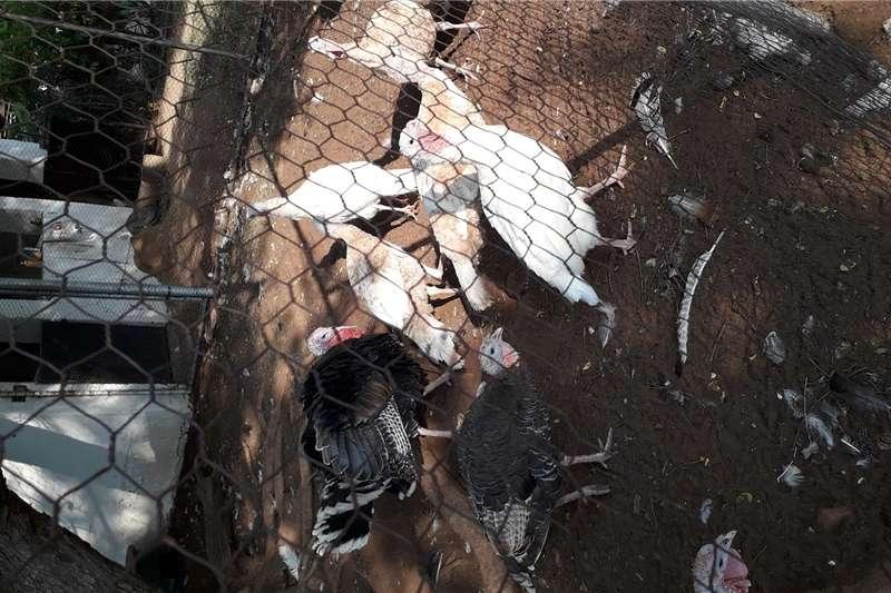Livestock Poultry VOLWASSE KALKOENE TE KOOP