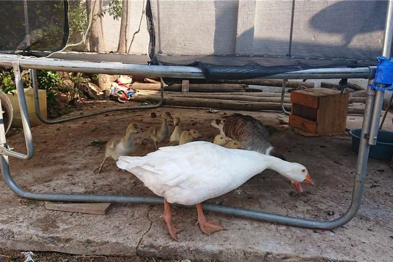 Poultry Young healthy Goslings Livestock