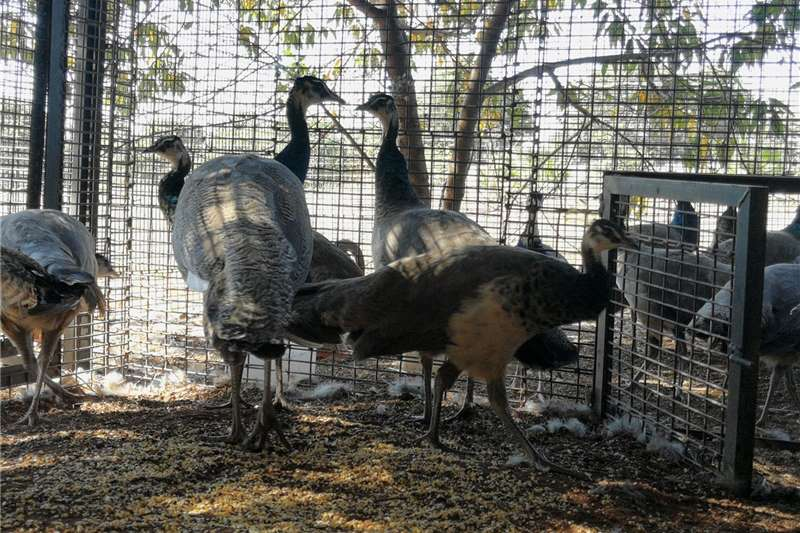 Livestock Poultry Young peacocks for sale