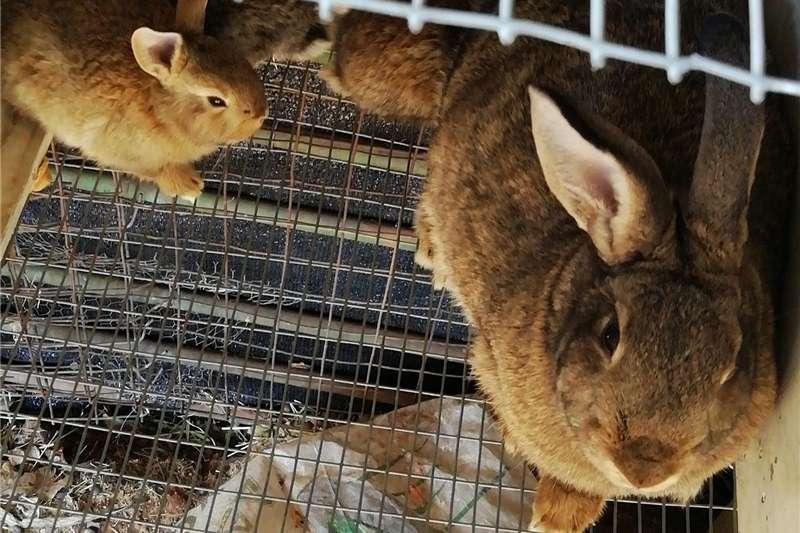 Livestock Rabbits New Zealand Rabbits