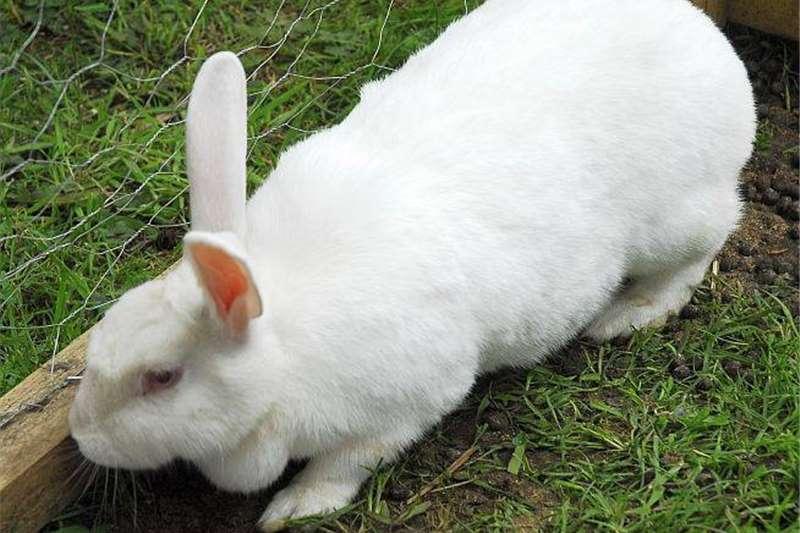Rabbits New Zeeland White Rabbits for sale Livestock