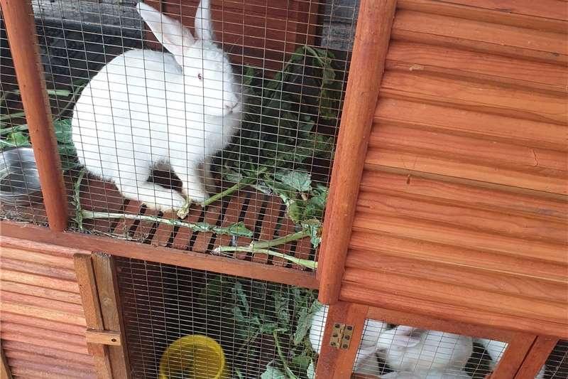 Rabbits Rabbit for Sale  New Zealand White Livestock